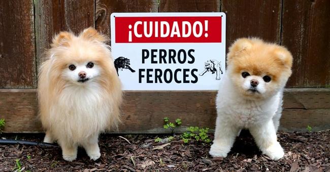 dos perros pequeños y peludos