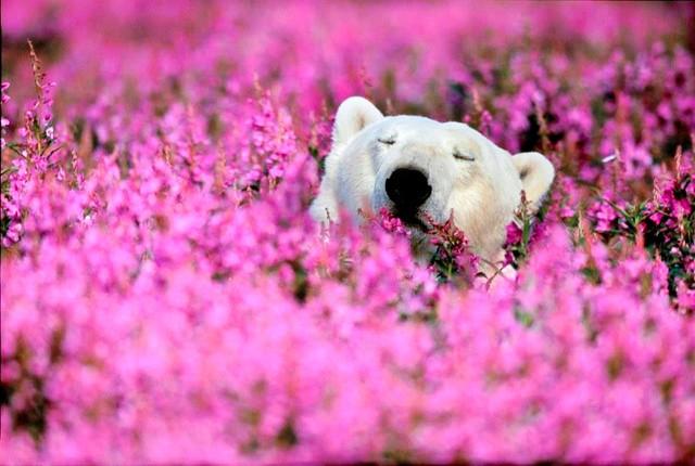 oso polar en campo de flores