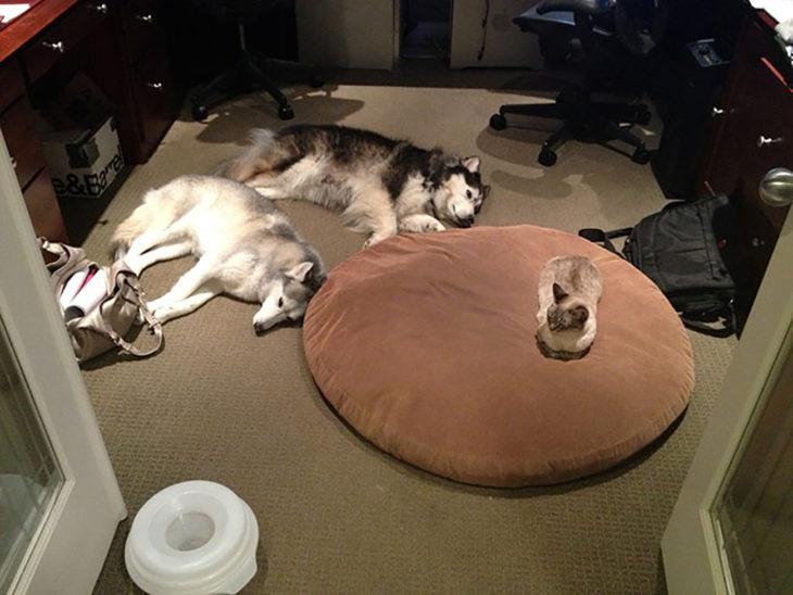 2 huskys y gato dormidos