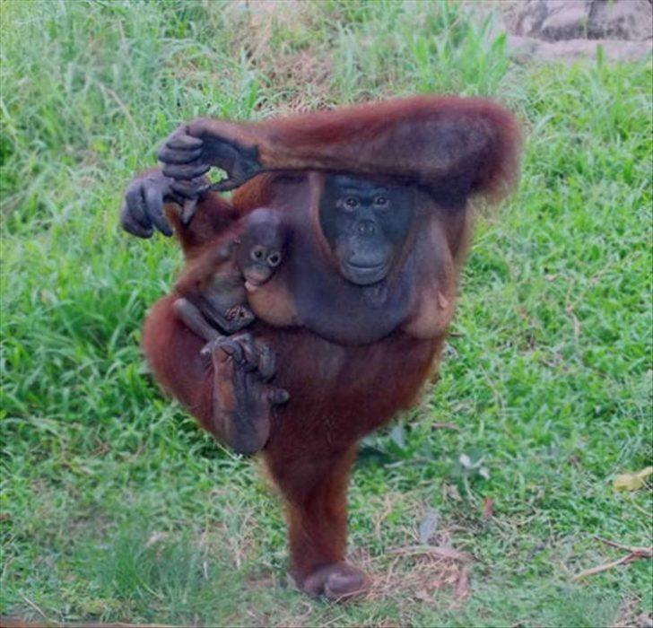 orangután haciendo yoga