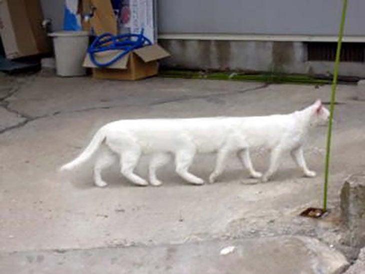 gato con 8 patas