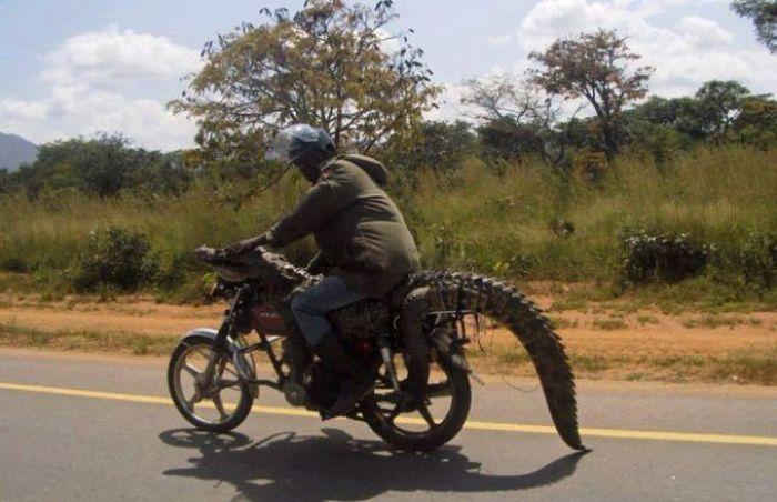señor en moto encima de cocodrilo