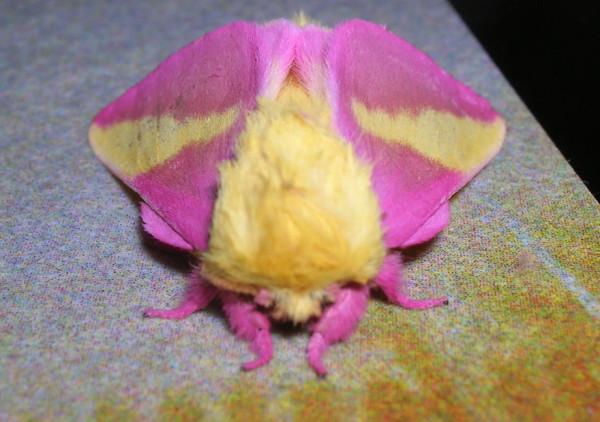 polilla rosa