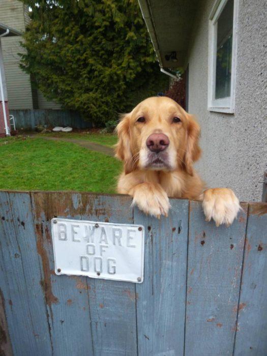 perro tras a una barda