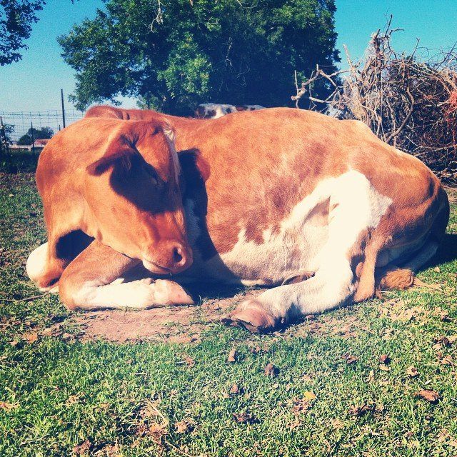 vaca torcida descansando en el sol