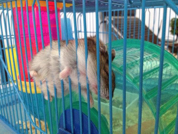 hámster arorado y dormido en su bola de cristal