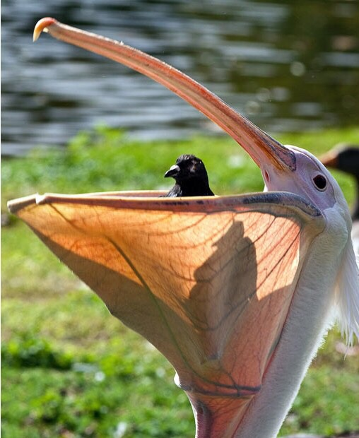 cigüeña comiendose una paloma