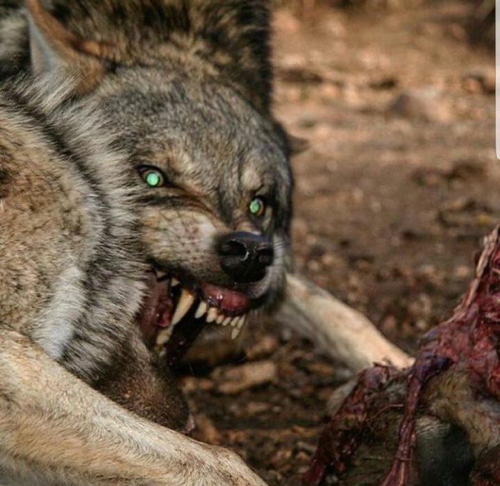 lobo devorando a su presa