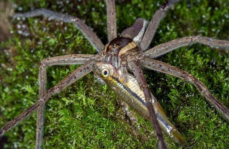 araña carnívora