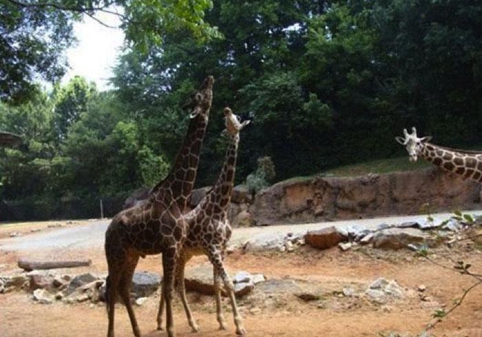 Animales photobomb - foto de dos jirafas y al fondo una se asoma para salir en la foto