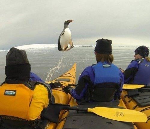 Animales photobomb - pinguino saltando en el agua