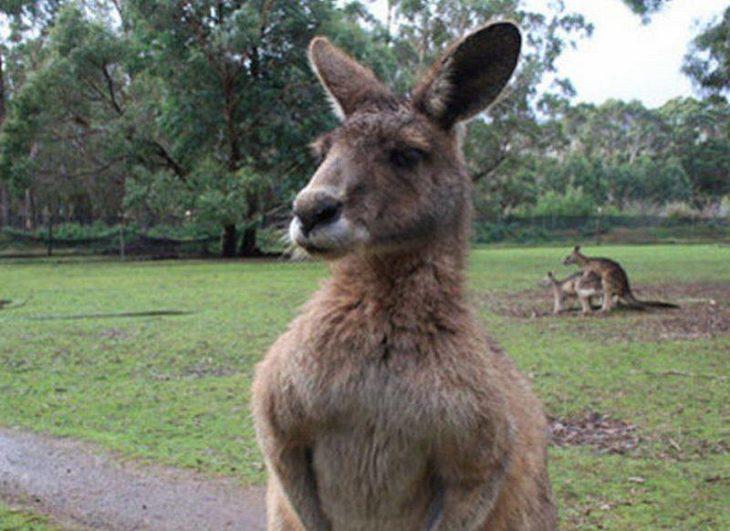 Foto de un canguro y atrás hay dos canguros montados