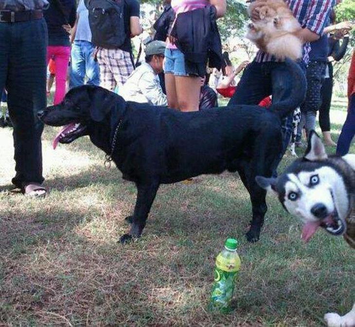 Foto de un perro y al lado sale un husky sacando la lengua