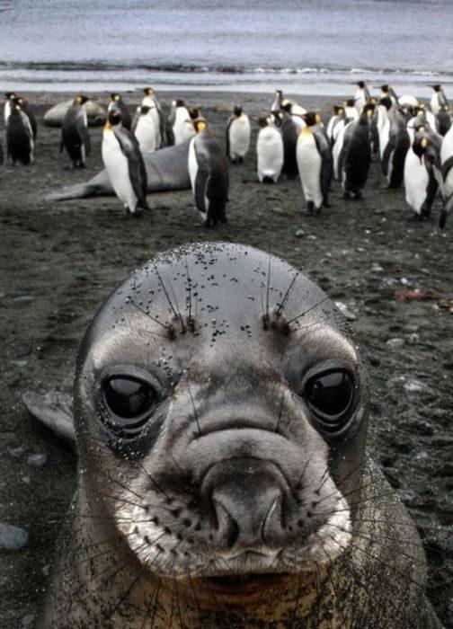 Foto de pinguinos atrás y en primer plano una foca