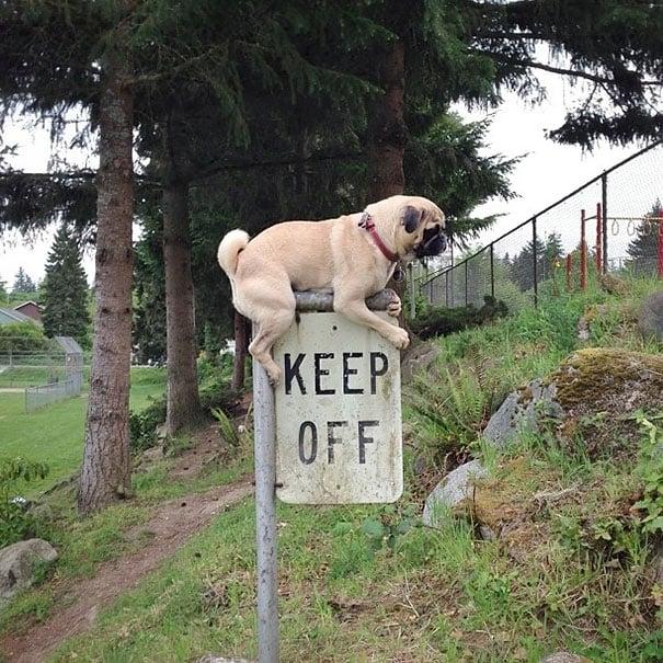 No les interesan las reglas - Perro encima de un letrero