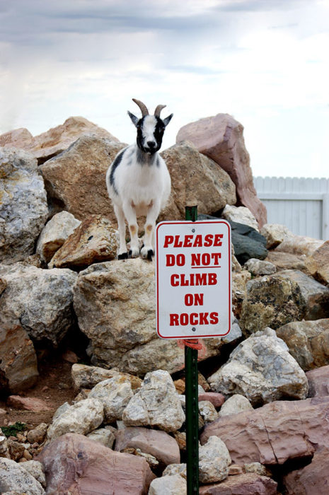 No les interesan las reglas - Cabra en las rocas