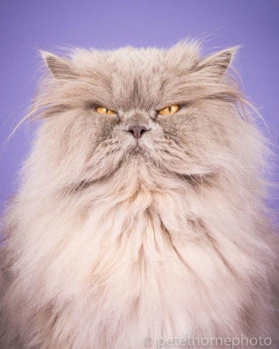 Gatos gordos - gato con cara de enojado