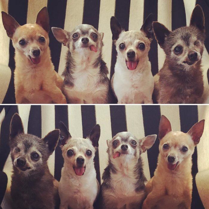 perritos chihuahuas viejitos