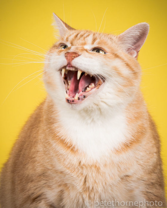 Gatos gordos - Gato enojado fondo amarillo