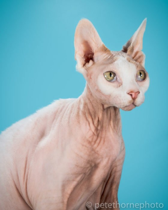 Gatos gordos fondo azul
