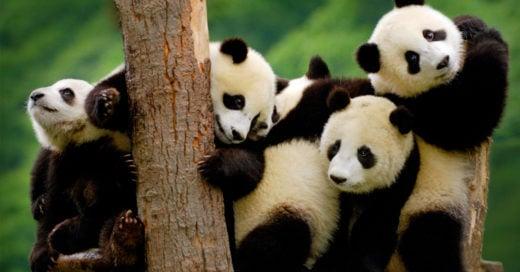 cover-pandas