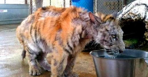 cover-rescatan-tigre