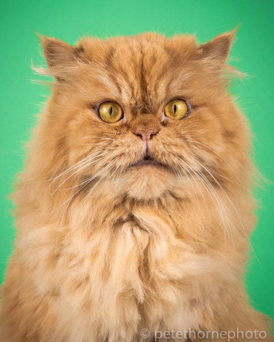 Gatos gordos - gato con cara de asombro