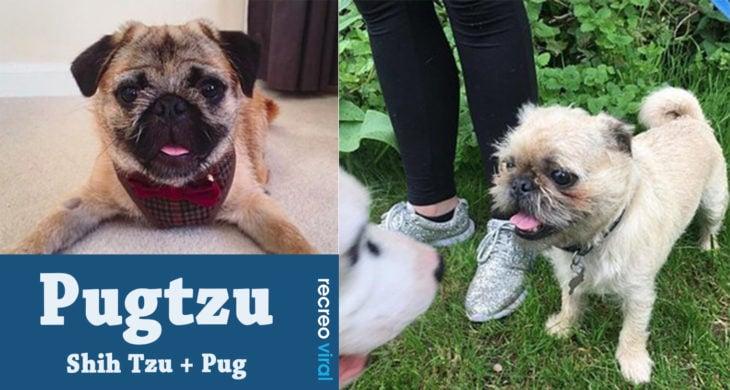 Cruzas de Pug - Pugtzu