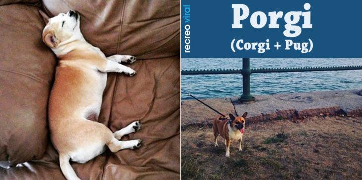 Cruzas de Pug - Porgi