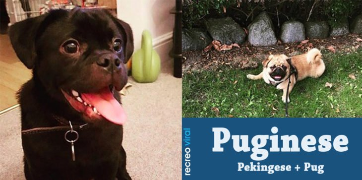 Cruzas de Pug - Puginese