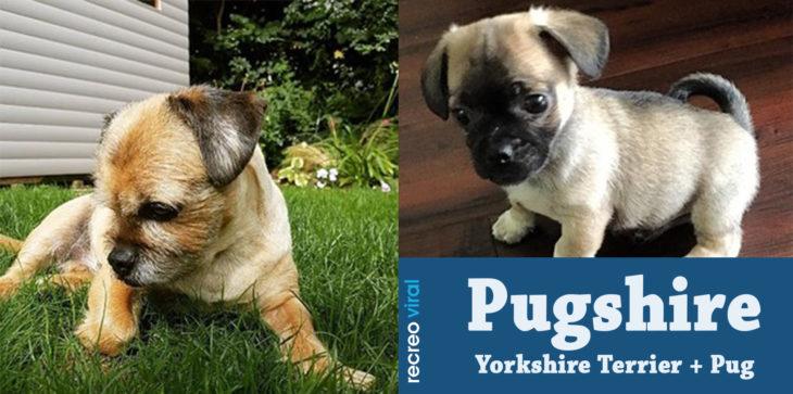 Cruzas de Pug - Pugshire