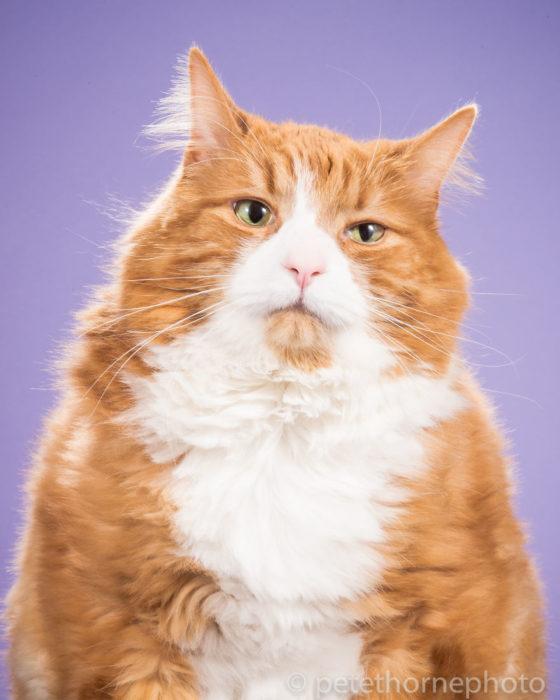 Gatos gordos- gato con cara de aburrido fondo morado