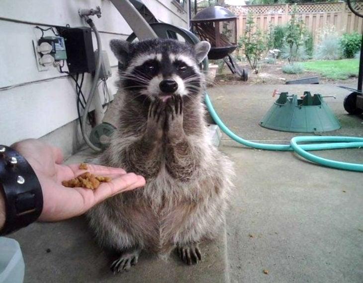 Enamórate de... mapache viendo comida