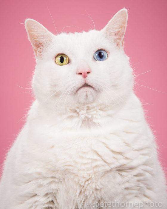 Gatos gordos - gato con ojos de colores diferentes y fondo rosa