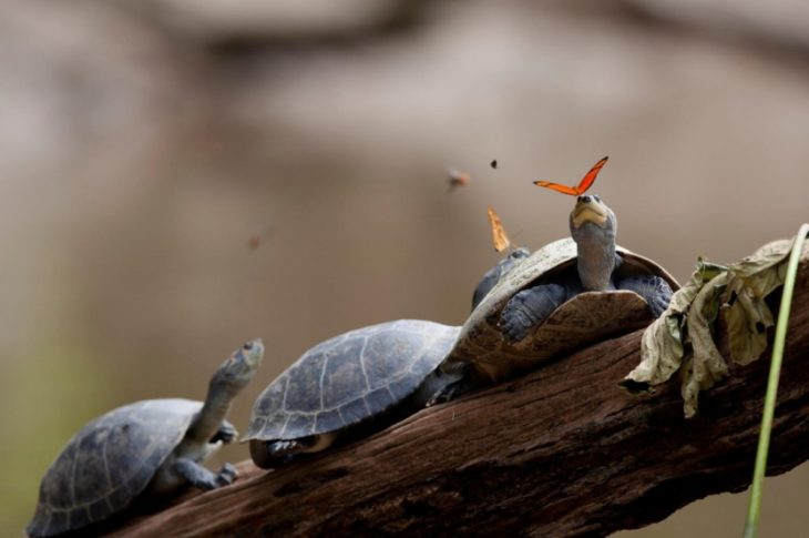 Fotos impresionantes y hermosas. Mariposa sobre una tortuga