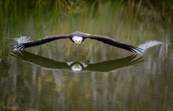 Fotos impresionantes y hermosas. Águila volando al raz del lago