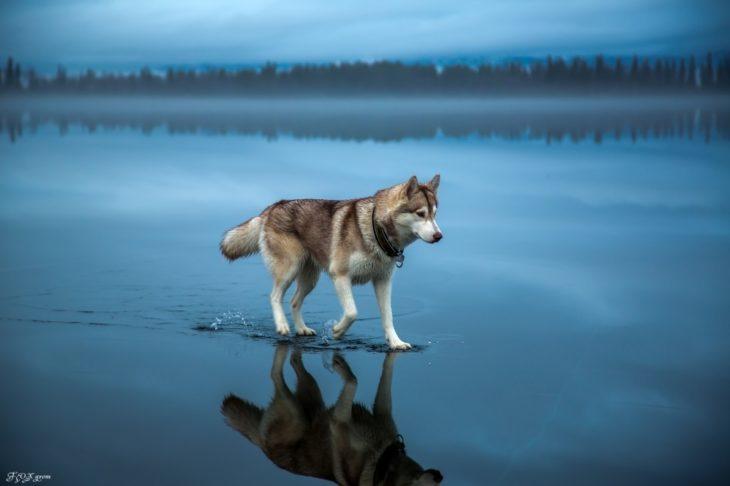 Fotos impresionantes y hermosas. Lobo caminando en el lago un paisaje azul