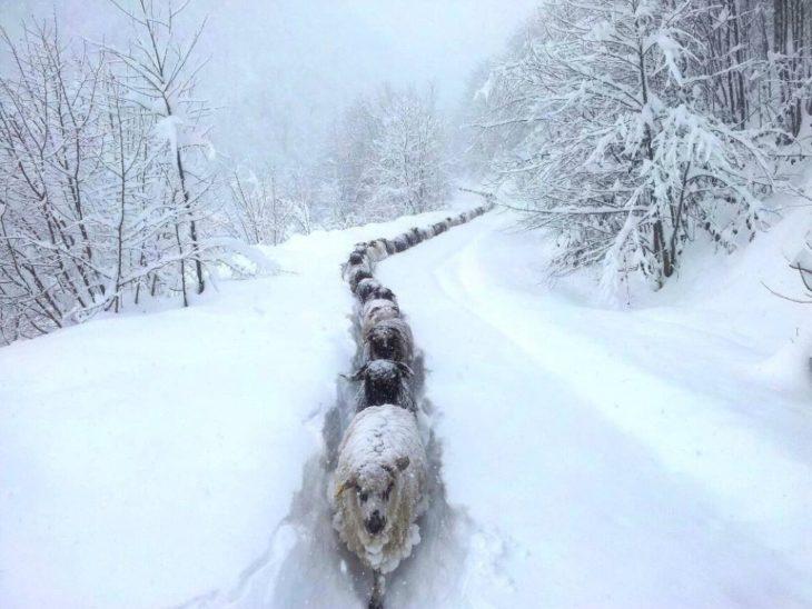Fotos impresionantes y hermosas. Ovejas abriendose camino en medio de la nieve
