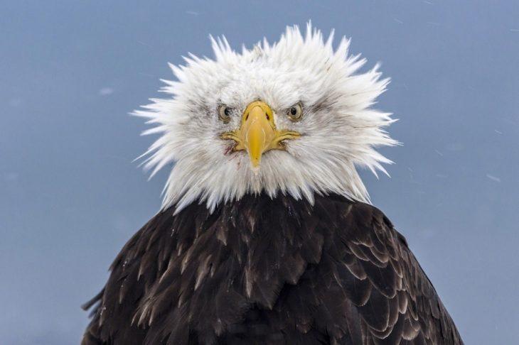 Fotos impresionantes y hermosas. Aguila despeinada
