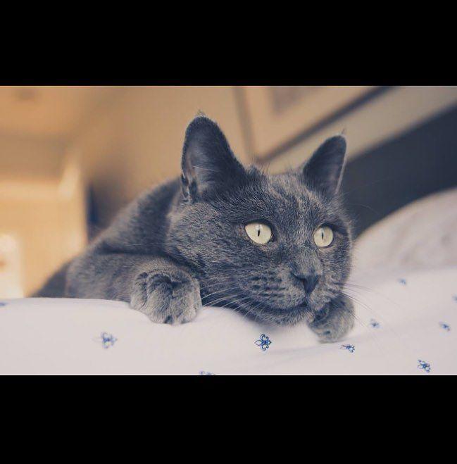 gato gris muy bello
