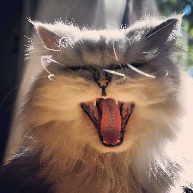 gato carcajada