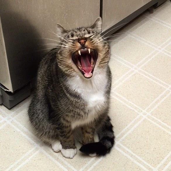 gato feliz a carcajadas