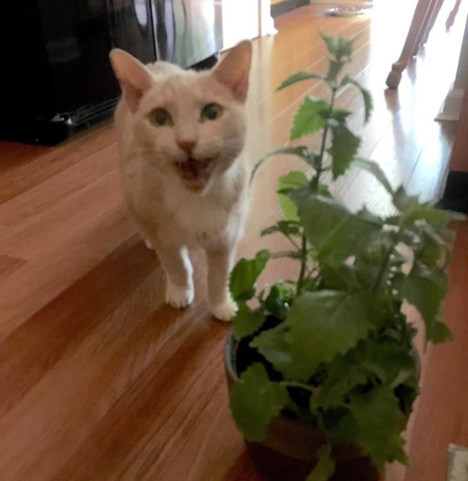 Gatito blanco, feliz detrás de la maceta