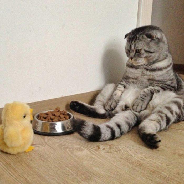 Gato sentado frente a su comida mientras ve a unpollito de juguete