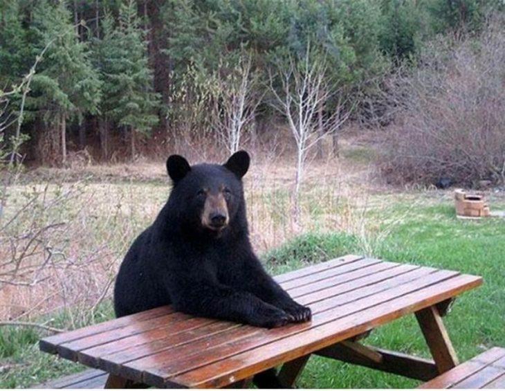 Oso sentado en la mesa