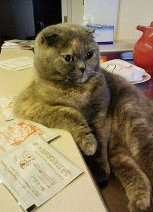 Gato sentado apoyado en una mesa con cara de susto