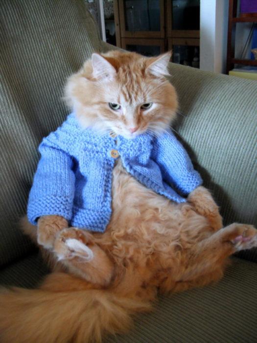 Gato sentado como humano con un sueter tejido