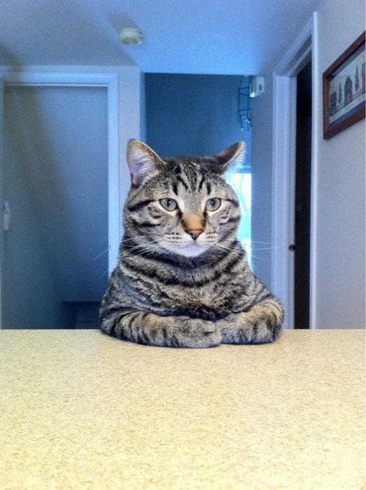 Gato sentado en la mesa