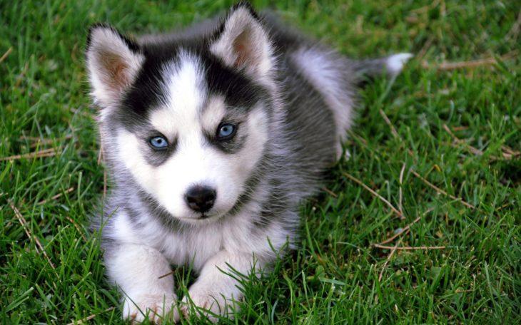 husky de pelaje gris con negro y sus ojos azules