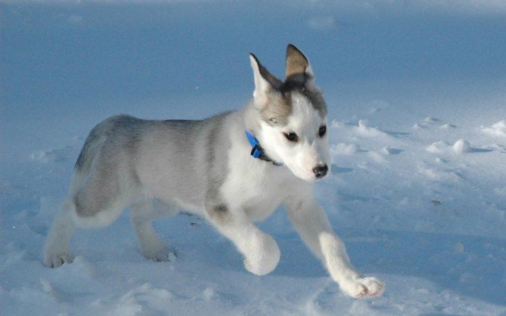 perrito husky jugando en la nieve
